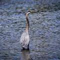 Great blue heron at the Esquimalt Lagoon Migratory Bird Sanctuary.- Esquimalt Lagoon Migratory Bird Sanctuary