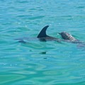 Dolphins at Gulf Islands National Seashore.- Gulf Islands National Seashore