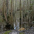 Wet ecosystems at Blackwater River State Park.- Blackwater River State Park