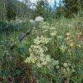 More wildflowers blooming in July.- Forest Lakes + Needle Eye Tunnel