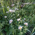 Common daisies (Bellis perennis).- Forest Lakes + Needle Eye Tunnel