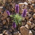 Purple fringe (Phacelia Sericea).- Forest Lakes + Needle Eye Tunnel