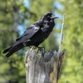 A raven rests on a tree stump in Rocky Mountain National Park.- Trail Ridge Road