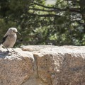 A gray jay rests on a stone barrier at Milner Pass on Trail Ridge Road.- Trail Ridge Road