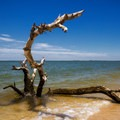 One of many dead trees emerging from the sandy shores.- Jane's Island State Park
