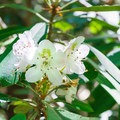 Rhododendrons in bloom.- Rhododendron State Park