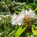 Flower close-up.- Rhododendron State Park