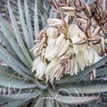 Banana Yucca (Yucca baccata) by the lakeside.- C.C. Cragin Reservoir