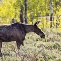 A moose cow spotted along Moose-Teton Road.- Moose-Teton Road Ponds