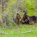 A newborn moose calf with its mother- Moose-Teton Road Ponds