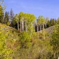 Newly leafed aspen groves along Moose-Teton Road.- Moose-Teton Road Ponds
