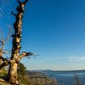 Ancient lodgepole pine on the hill above the overlook.- Lake Butte Overlook