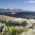 Mount Washburn with lupin in the forefront.- Specimen Ridge Trail