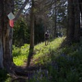 Trees marked with blazes also support route finding.- Specimen Ridge Trail