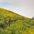 Wild daisys are abundant on the hike off of Amethyst Mountain.- Specimen Ridge Trail