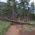 A downed tree that looked fresh had been there long enough for an alternate route to be established.- Deer Mountain
