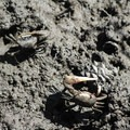 Fiddler crabs in the marsh.- York River State Park