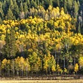 Aspens at various stages of color change.- Weber Canyon Scenic Drive