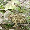 Toad.- Manassas National Battlefield Park