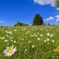 Wildflowers blooming in the late spring.- Manassas National Battlefield Park