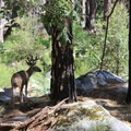 Large mule deer near the trail to Half Dome.- Half Dome via Mist Trail