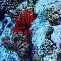 Slate pencil urchin/Punahu (Eucidaris tribuloides) at Molokini Crater. Photo by Jason Raia (CC 2.0).- Molokini Crater Snorkeling + Diving Tour