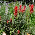 Indian paintbrush in full color during the early summer.- Bacon Rind Creek