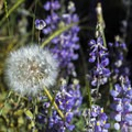 Wildflowers on Big Oak Flat Road Trail.- North Rim Hike: Big Oak Flat Road to Mirror Lake