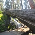 The trail passes under a fallen sequoia.- Congress Trail