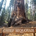 Chief Sequoyah Tree found along the trail.- Congress Trail