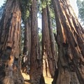 One of many groves of sequoias found along the trail.- Congress Trail