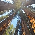 Looking upward into a grove of giant sequoias.- Congress Trail