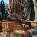 McKinley Tree, one of the largest sequoias in the park.- Congress Trail