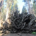 The extended root system of a fallen sequoia.- Congress Trail