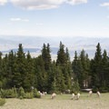 Bighorn sheep are a common sight during a hike on Mount Washburn.- Mount Washburn via Chittenden Road