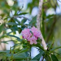Rhododendron along the trail.- Erma Bell Lakes