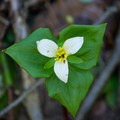 Trillium along the trail. - Erma Bell Lakes