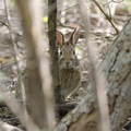 A variety of wildlife can be seen along the trails. Here a rabbit peeks through the trees.- Five Rivers Environmental Education Center