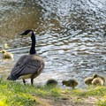 A family of geese near one of the many ponds.- Five Rivers Environmental Education Center
