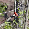 Cardinals are a frequent visitor to the area.- Five Rivers Environmental Education Center