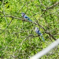 Blue Jays taking a rest in a tree.- Five Rivers Environmental Education Center