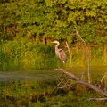 A heron perched above a pond looks for dinner.- Five Rivers Environmental Education Center
