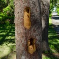 A woodpecker has been hard at work.- Five Rivers Environmental Education Center