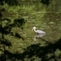 A heron fishing for lunch.- Five Rivers Environmental Education Center