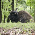 American bison.- Lone Elk Park