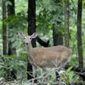 White-tailed deer.- Lone Elk Park