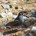 California quail seen on the trail.- Congress Trail