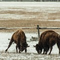 Two young bison fighting.- West Yellowstone