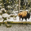 A bison searching for food along the riverbank.- West Yellowstone