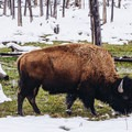 Grazing by the river.- West Yellowstone